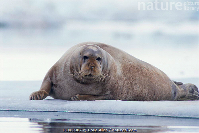 Bearded seal hauled out on on ice floe {Erignathus barbatus} Svalbard, Norway, ARCTIC,DA,FLOE,HORIZONTAL,ICE,MAMMALS,MARINE,NORWAY,PINNIPEDS,SCANDINAVIA,SVALBARD,EUROPE, Scandinavia, CARNIVORES, Doug Allan