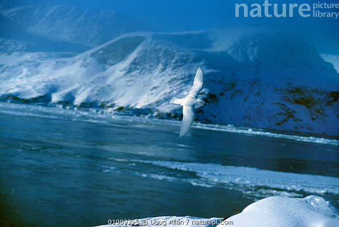 Snow petrel {Pagodroma nivea} flying over snowy landscape, Antarctica, animals in the wild,ANTARCTICA,BIRDS,CATALOGUE2,close up,ease,FLYING,FREEDOM,Frozen,grace,LANDSCAPES,Nobody,one animal,outdoors,PETRELS,sea,SEABIRDS,SNOW,VERTEBRATES,WATER,wild life,CONCEPTS, Doug Allan