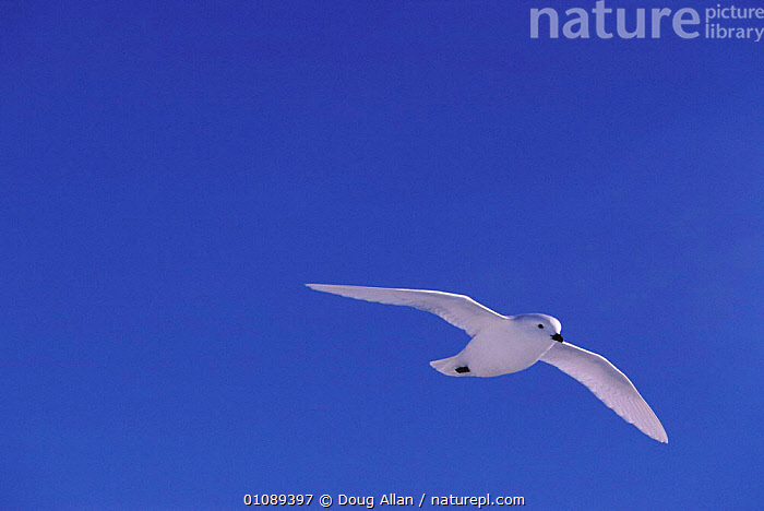 Snow petrel in flight  {Pagodroma nivea} Antarctica, ANTARCTICA,BIRD,BIRDS,DA,FLYING,HORIZONTAL,ONE,SEABIRDS,SKY,WHITE,WEATHER, Doug Allan