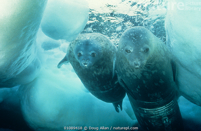 Weddell seal {Leptonychotes weddelli} adult and pup swimming under ice, Antarctica  ,  animal family,animals in the wild,ANTARCTICA,AQUATIC,BABIES,CARNIVORES,CATALOGUE2,Cautious,close up,curiosity,CUTE,FAMILIES,gentle,ICE,looking at camera,MAMMALS,MARINE,marine life,Nobody,PARENTAL,PINNIPEDS,sea life,seal pup,SEALS,shy,side by side,SWIMMING,timid,two animals,UNDERWATER,VERTEBRATES,WILDLIFE,young animal  ,  Doug Allan
