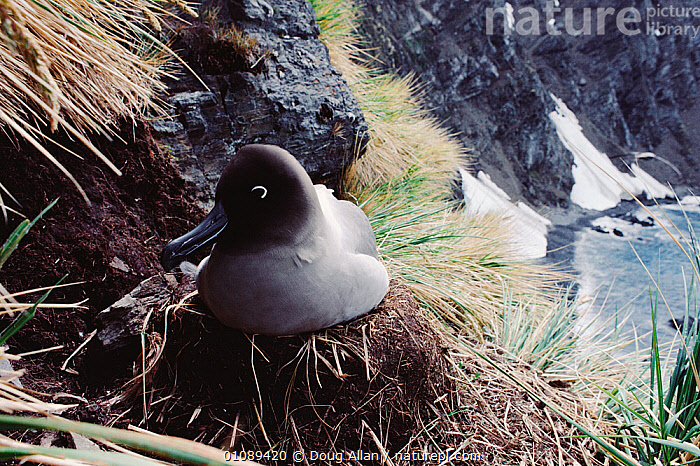 Light mantled sooty albatross (Phoebetria palpebrata) on nest, South Georgia, Antarctica, ALBATROSSES,ANTARCTICA,BIRDS,CLIFFS,COASTS,HORIZONTAL,NESTS,SEABIRDS,VERTEBRATES,Geology, Doug Allan