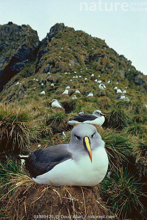 Grey headed albatross nest colony (Thalassarche chrysostoma) South Georgia, Antarctica, ALBATROSSES,ANTARCTICA,BIRDS,Diomedea chrysostoma,GROUPS,NESTS,SEABIRDS,VERTEBRATES,VERTICAL, Doug Allan