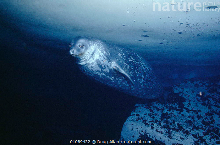 Weddell seal swims under ice {Leptonychotes weddelli} Antarctica, ANTARCTICA,DA,HORIZONTAL,ICE,MAMMALS,MARINE,PINNIPEDS,SWIMMING,UNDERWATER, Doug Allan
