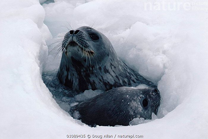 Weddell seal with pup surfacing at breathing hole in ice {Leptonychotes weddelli} Antarctica, ANTARCTICA,BABIES,BREATHING,DA,FAMILIES,HOLE,HORIZONTAL,MAMMALS,MARINE,PINNIPEDS,SNOW, Doug Allan