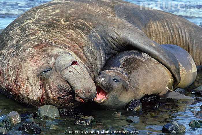 Southern elephant seal pair courtship {Mirounga leonina} Antarctica, AFFECTION,ANTARCTICA,DA,DIFFERENCE,DIMPORSHISM,FEMALE,FEMALES,FRIENDSHIP,HORIZONTAL,HUMOROUS,HUMOUROUS,MALE,MALE FEMALE PAIR,MALES,MAMMALS,MARINE,MATING BEHAVIOUR,PAIR,PINNIPEDS,PROTECTION,PROTECTIVE,SEXUAL DIMORPHISM,SIZE,CONCEPTS,REPRODUCTION, Doug Allan