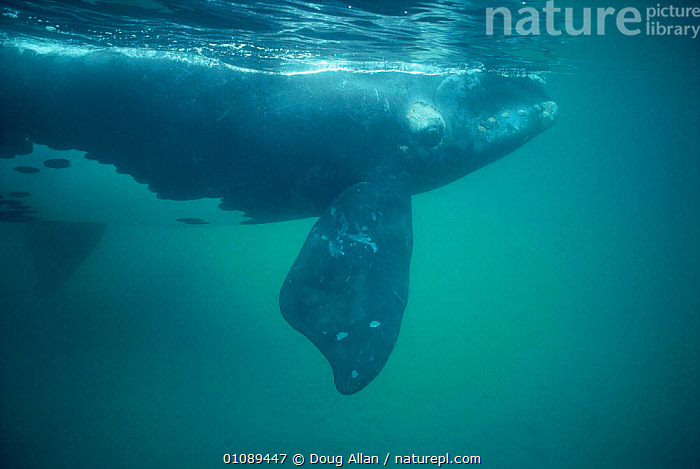 Southern right whale underwater {Balaena glacialis australis} off Peninsula Valdes, Argentina, CETACEANS,DA,FIN,FINS,HORIZONTAL,MAMMALS,SOUTH AMERICA,UNDERWATER,VALDEZ,Catalogue1, Doug Allan