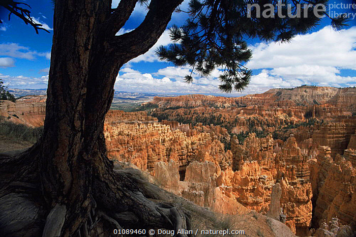 Looking out across Bryce Canyon NP with sandstone hoodoo rock formations, Utah, USA, attraction,canyons,EROSION,landmark,LANDSCAPES,NORTH AMERICA,RESERVE,ROCK FORMATIONS,sandstone,USA,Geology, Doug Allan