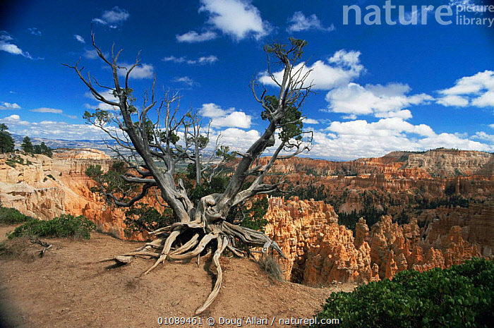 Old tree on edge of Bryce Canyon NP, Utah, USA, attraction,canyons,EROSION,hoodoos,landmark,LANDSCAPES,NORTH AMERICA,RESERVE,rim,ROCK FORMATIONS,sandstone,TREES,USA,Geology,Plants, Doug Allan