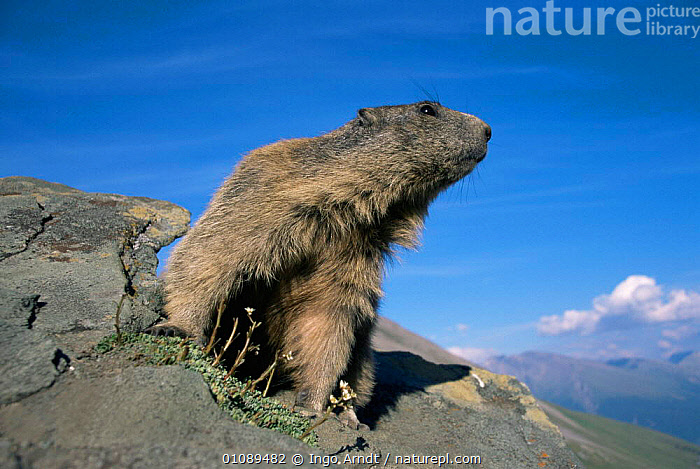 Alpine marmot portrait {Marmota marmota} Gran Paradiso National Park, Italy, Europe, ALPINE,CUTE,EUROPE,HIGHLANDS,HORIZONTAL,ITALY,MAMMALS,MARMOTS,MOUNTAINS,NP,PORTRAITS,RODENTS,VERTEBRATES,National Park, Ingo Arndt