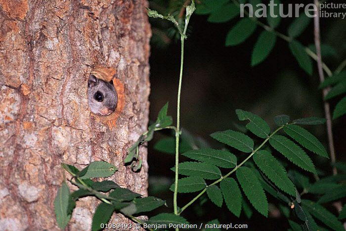 Siberian flying squirrel looking out of nest hole in tree {Pteromys volans} Finland, Europe, CUTE,EUROPE,FACES,FLYING,FLYING SQUIRRELS,HEADS,HORIZONTAL,MAMMALS,NESTS,NIGHT,RODENTS,SMALL,TINY,TREES,VERTEBRATES,Plants, Benjam Pontinen