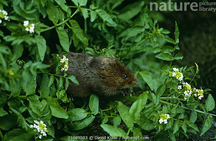 Water vole {Arvicola terrestris} amongst vegetation, Wiltshire, UK., CUTE,ENGLAND,EUROPE,MAMMALS,PLANTS,PROFILE,RODENTS,UK,VERTEBRATES,VOLES,WATER,WETLANDS,United Kingdom,British,Muridae, David Kjaer