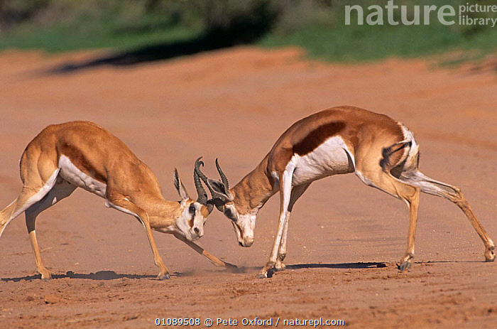 Male Springbok fighting {Antidorcas marsupialis} Kgalagadi Transfrontier Park, South Africa, AFRICA,AGGRESSION,ARTIODACTYLA,BOVIDS,DOMINANCE,FIGHTING,MALES,MAMMALS,SOUTHERN AFRICA,SPRINGBOKS,TERRITORIAL,TWO,VERTEBRATES,Concepts, Pete Oxford