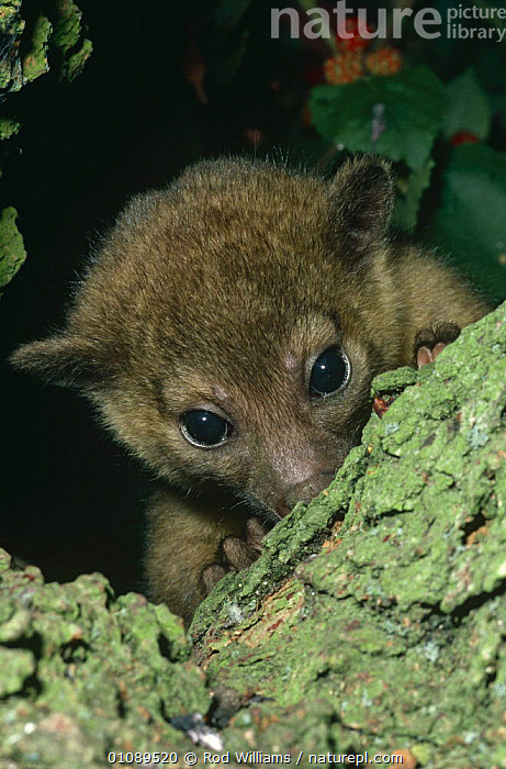 Young female Kinkajou portrait {Potos flavus} captive, found in South America, CARNIVORES,CUTE,EYES,FACES,FEMALES,HEADS,HIDING,IMMATURE,JUVENILE,KINKAJOUS,MAMMALS,PORTRAITS,SOUTH AMERICA,VERTEBRATES,VERTICAL, Rod Williams