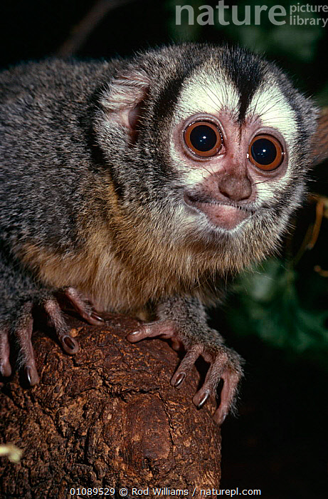 Douroucouli / Night monkey {Aotus trivirgatus} captive, from Central and South America, CENTRAL AMERICA,EYES,FACES,MAMMALS,MONKEYS,NIGHT MONKEYS,PORTRAITS,PRIMATES,SOUTH AMERICA,VERTEBRATES,VERTICAL, Rod Williams
