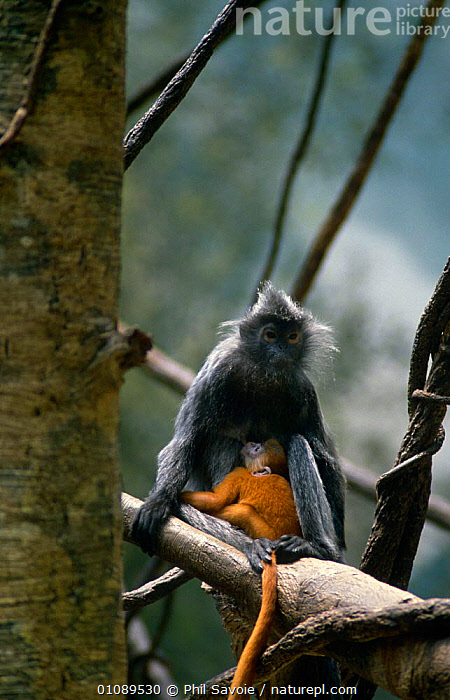 Silvered langur / leaf monkey {Trachypithecus cristatus / Presbytis cristata} female suckling young, captive from Thailand and Indonesia, COLOUR,FAMILIES,LANGURS,MAMMALS,MONKEYS,PRIMATES,VERTEBRATES,VERTICAL, Phil Savoie