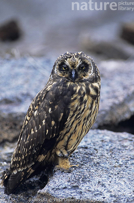Short eared owl {Asio flammeus} perched on rock, Tower Island, Galapagos, BIRDS,BIRDS OF PREY,GALAPAGOS,OWLS,PORTRAITS,VERTEBRATES,VERTICAL, Pete Oxford