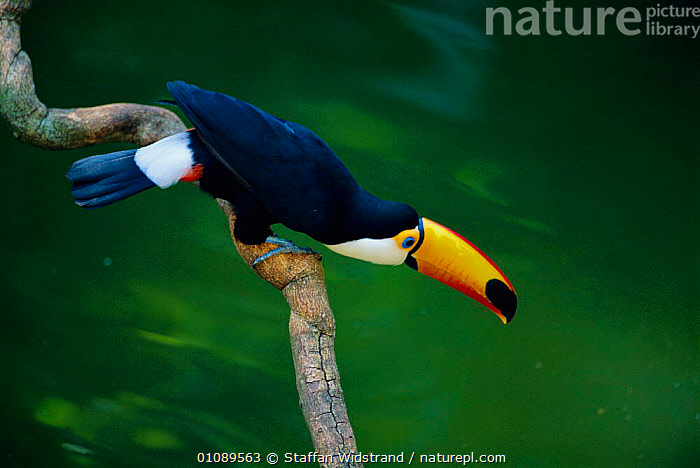 Toco toucan on branch above river {Ramphastos toco} Iguazu Falls Argentina South America, IGUASSU,WATER,SOUTH AMERICA,BIRDS,COLOURFUL,TOUCANS,BEAKS,RIVERS, Staffan Widstrand