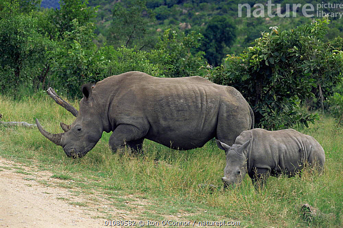 White rhinoceros mother with calf {Ceratotherium simum} Kruger NP, South Africa, AFRICA,BABIES,calves,ENDANGERED,FAMILIES,MAMMALS,MOTHER,NP,PERISSODACTYLA,RESERVE,RHINOCEROSES,SOUTHERN AFRICA,VERTEBRATES,young,National Park , rhino, rhinos, rhinoceros, , rhino, rhinos, rhinoceros,, Ron O'Connor