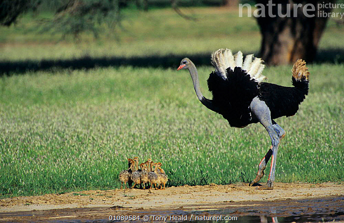 Ostrich male with chicks {Struthio camelus} Kgalagadi Transfrontier NP, South Africa, AFRICA,BABIES,BIRDS,FAMILIES,FLIGHTLESS,FLIGHTLESS BIRDS,HORIZONTAL,MALES,NP,OSTRICHES,RESERVE,SOUTHERN AFRICA,VERTEBRATES,National Park, Tony Heald