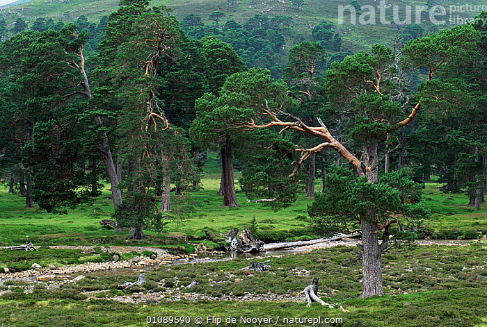 Ancient coniferous forest with Scots Pine Trees. Mare Lodge, Highlands, Scotland, UK., RIVERS,WOODLANDS,UK,LANDSCAPES,FLIP,EUROPE,TREES,SUMMER,United Kingdom,Plants,British, Flip de Nooyer