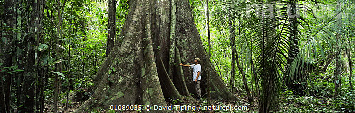 Person standing at buttress of emergent tree,  Amazon Basin, Peru, South America, AMAZONIA,INTERIOR,PANORAMIC,PEOPLE,PLANTS,ROOTS,SIZE,SOUTH AMERICA,STANDING,TREES,TROPICAL,TROPICAL RAINFOREST,SOUTH-AMERICA, David Tipling
