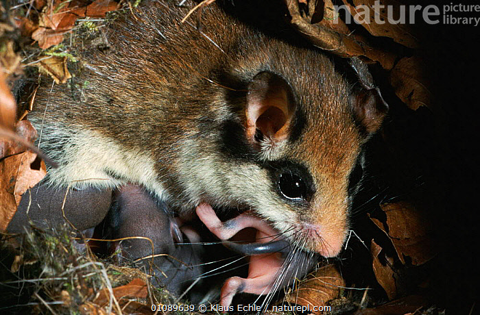 Garden dormouse female with 7-day-old baby in nest box {Eliomys quercinus} Germany, BABIES,BABY,EUROPE,FAMILIES,FEMALES,GERMANY,KEC,MAMMALS,NEST,NESTS,RODENTS,WOODLANDS,MURIDAE, Klaus Echle