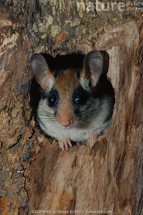 Garden dormouse female peeps out of nest hole {Eliomys quercinus} Germany hand raised, CUTE,EARS,EUROPE,FACES,FEMALE,FEMALES,HEADS,KEC,MAMMALS,MURIDAE,NEST,OUTSTANDING,PLANTS,PORTRAITS,RODENTS,TREES,TRUNKS,VERTICAL,WOODLANDS, Klaus Echle