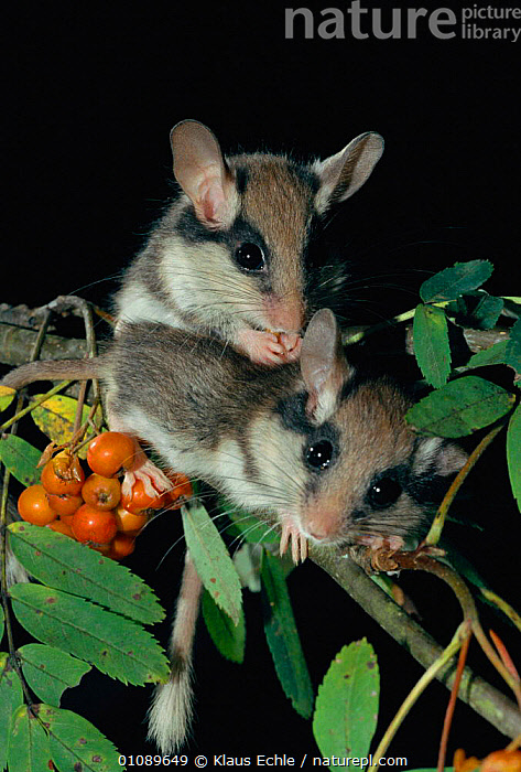 Garden dormice {Eliomys quercinus} juveniles amongst Mountain Ash berries. Germany. 2-month-old, hand raised, CUTE,EUROPE,FRUIT,GERMANY,JUVENILE,KEC,MAMMALS,MURIDAE,PLANTS,RODENTS,TWO,VERTICAL,WOODLANDS,YOUNG, Klaus Echle