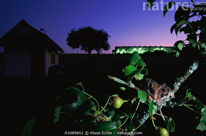 Garden dormice in fruit tree {Eliomys quercinus} at night Germany. hand raised orphans, BUILDINGS,EUROPE,FRUIT,GARDENS,GERMANY,HORIZONTAL,KEC,MAMMALS,NIGHT,RAISED,RODENTS,TREES,TWO,WOODLANDS,PLANTS,MURIDAE, Klaus Echle