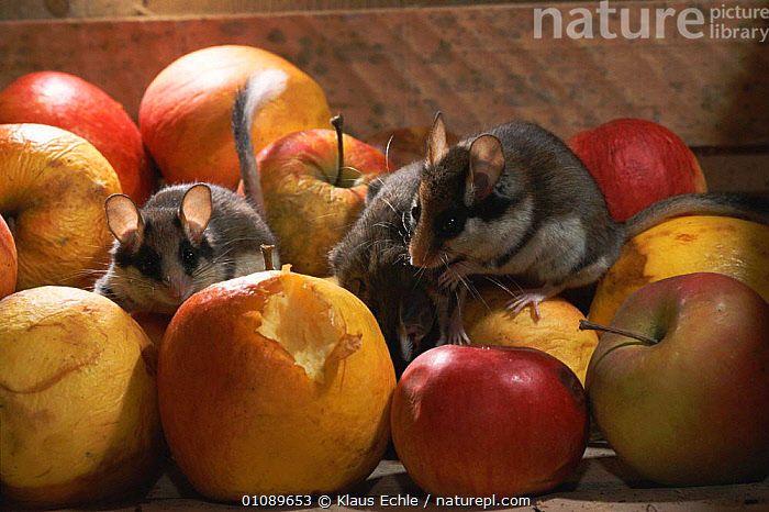 Garden dormice feed on apples in cellar {Eliomys quercinus} Germany. Hand raised orphans, APPLES,DORMICE,EUROPE,FEEDING,FRUIT,GERMANY,HORIZONTAL,HOUSE,KEC,KLAUS,MAMMALS,RODENTS,PLANTS,MURIDAE, Klaus Echle