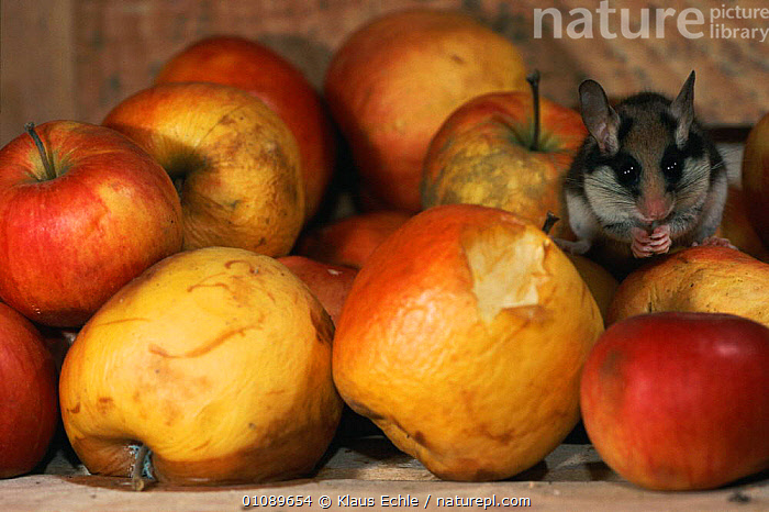 Garden dormouse feed on apples in cellar {Eliomys quercinus} Germany. Hand raised orphan, BUILDINGS,CELLAR,DORMICE,EUROPE,FEEDING,FRUIT,GERMANY,HORIZONTAL,HOUSE,KEC,MAMMALS,RODENTS,PLANTS,MURIDAE, Klaus Echle