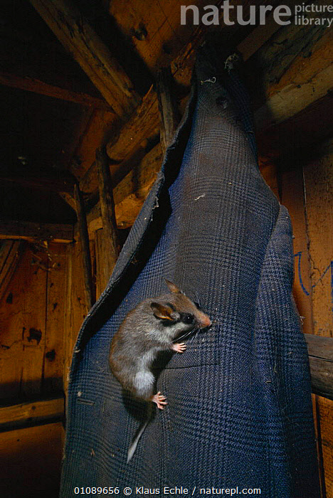 Garden dormouse on jacket in wood cutters cottage {Eliomys quercinus} Germany. hand raised, BUILDINGS,CLOTHES,EUROPE,GERMANY,JACKET,KEC,MAMMALS,MURIDAE,RODENTS,VERTICAL,WOODLANDS, Klaus Echle
