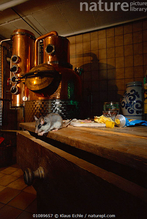 Garden dormouse foraging in kitchen {Eliomys quercinus} Germany. hand-raised, BUILDINGS,CAPTIVE,EUROPE,FEEDING,GERMANY,HOME,HOUSE,KEC,KLAUS,MAMMALS,MURIDAE,RODENTS,TABLE,VERTICAL, Klaus Echle