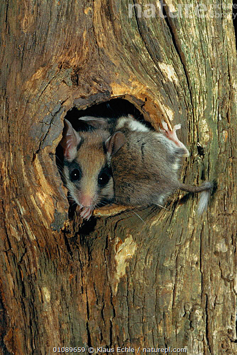 Garden dormouse juveniles at nest hole {Eliomys quercinus} Germany.  hand-raised, EUROPE,GERMANY,HOLE,JUVENILE,KEC,MAMMALS,MURIDAE,NEST,PLANTS,RODENTS,TREES,TRUNKS,TWO,VERTICAL,WOODLANDS, Klaus Echle