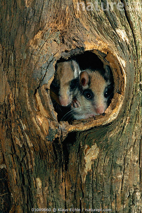 Garden dormouse juveniles peeping out of nest hole {Eliomys quercinus} Germany. hand-raised, EUROPE,GERMANY,HOLE,JUVENILE,KEC,MAMMALS,MURIDAE,NEST,PLANTS,RODENTS,TREES,TRUNKS,TWO,VERTICAL,WOODLANDS, Klaus Echle