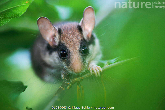 Garden dormouse in tree {Eliomys quercinus} Germany Hand raised individual., EARS,EUROPE,HORIZONTAL,KEC,MAMMALS,MURIDAE,PLANTS,PNE,RODENTS,TREE,TREES,WOODLANDS, Klaus Echle