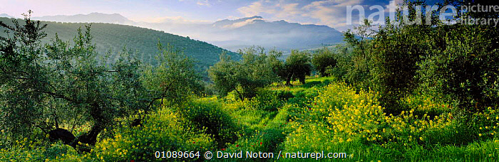 Olive grove landscape near Cazorla in spring, Sierra de Cazorla, Andalucia, Spain, ANDALUSIA,CROPS,CULTIVATIONS,DNO,FARMING,FLOWERS,FOOD,GREEN,GROVE,HILLS,HORIZONTAL,LANDSCAPE,LANDSCAPES,OLIVE,PANORAMIC,PLANTS,SCENIC,SPRING,TREES,Europe, David Noton