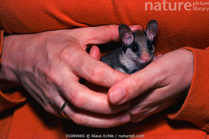 Garden dormouse held in hand {Eliomys quercinus} Germany -  hand raised orphan, CARE,EUROPE,GERMANY,HAND,HANDS,HORIZONTAL,KEC,MAMMALS,PEOPLE,PROTECTION,REHABILITATION,RODENTS,MURIDAE, Klaus Echle