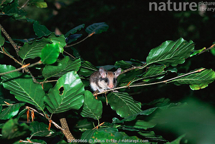 Garden dormouse in tree {Eliomys quercinus} Germany -  hand raised orphan released back into wild, BEECH,EUROPE,GARDENS,GERMANY,HORIZONTAL,KEC,MAMMALS,NIGHT,REHABILITATION,RODENTS,TREE,TREES,WOODLANDS,PLANTS,MURIDAE, Klaus Echle