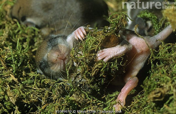 Garden dormouse {Eliomys quercinus} orphan hand-raised baby in nest, Germany, BABIES,DORMICE,EUROPE,GERMANY,LANDSCAPES,MAMMALS,MICE,MOSS,NESTS,rodents,VERTEBRATES, Klaus Echle