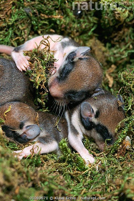 Garden dormice babies sleeping in nest {Eliomys quercinus} Germany. Hand raised, BABIES,BABY,CAPTIVE,EUROPE,KEC,LANDSCAPES,MAMMALS,NESTS,REHABILITATION,RODENTS,THREE,VERTICAL,MURIDAE, Klaus Echle