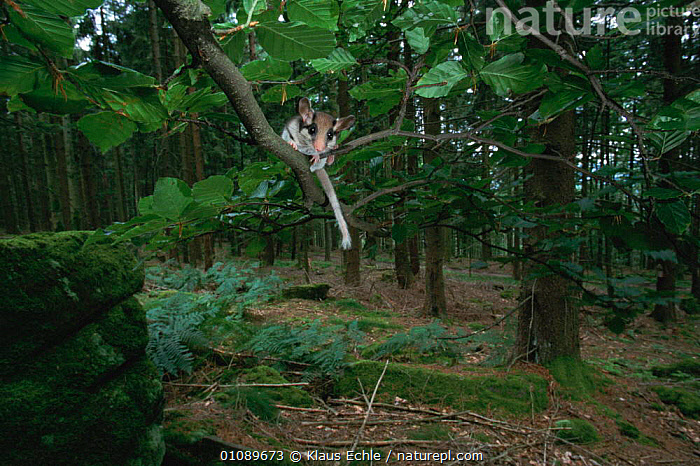 Garden dormouse in woodland {Eliomys quercinus} Black forest, Germany. Orphan hand raised and released back into wild., EUROPE,FOREST,GERMANY,HORIZONTAL,KEC,LANDSCAPES,MAMMALS,RODENTS,WOODLAND,WOODLANDS,MURIDAE, Klaus Echle