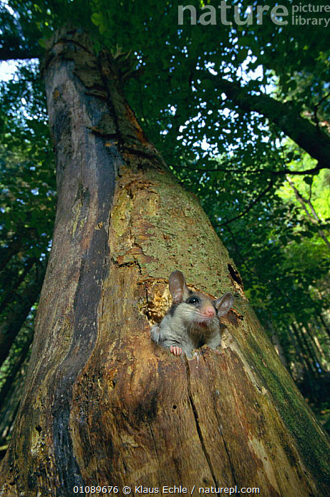 Garden dormouse in beech tree {Eliomys quercinus} Germany. hand-raised hand raised, BEECH,EUROPE,GERMANY,KEC,LANDSCAPES,MAMMALS,MURIDAE,PLANTS,RODENTS,TREES,TRUNKS,VERTICAL,WOODLANDS,YOUNG, Klaus Echle