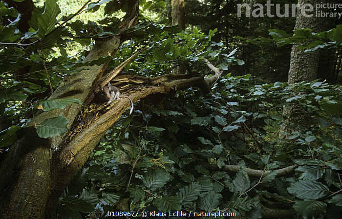 Garden dormouse {Eliomys quercinus} in beech tree, Germany, hand raised individual released back into wild, DORMICE,EUROPE,GERMANY,HABITAT,MAMMALS,MICE,rodents,TREES,VERTEBRATES,WOODLANDS,PLANTS, Klaus Echle