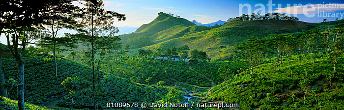 Tea plantations in the hills of Matele region, Hunas Falls nr Kandy, Sri Lanka, BUILDINGS,CEYLON,CROPS,CULTIVATION,DNO,FARMING,GREEN,HIGHLANDS,HILLS,HOMES,HORIZONTAL,INDIAN SUBCONTINENT,LANDSCAPES,LUSH,PANORAMIC,PLANTATION,PLANTS,SCENIC,TEA,TREES,ASIA, David Noton