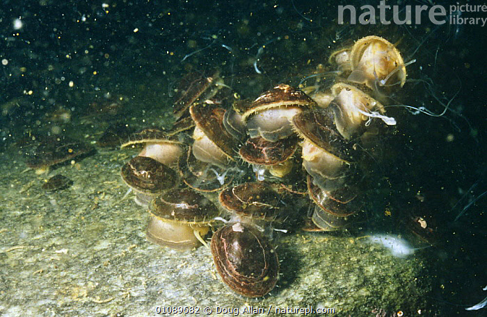 Limpets spawning (Nacella sp) Antarctica, ANTARCTICA,BEHAVIOUR,EGGS,GASTROPODS,GROUPS,INVERTEBRATES,LIMPETS,MARINE,MASS,MATING BEHAVIOUR,MOLLUSCS,POLAR,REPRODUCTION,SPAWNING,UNDERWATER, Doug Allan