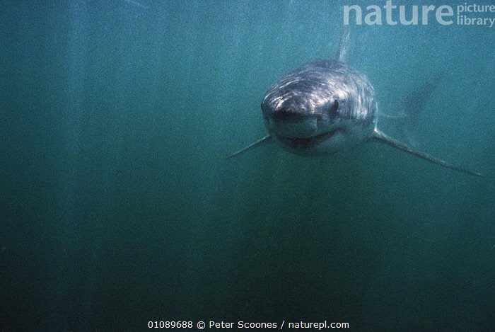 Great white shark {Carcharodon carcharias} Dyer island, South Africa, CHONDRICHTHYES,FISH,MARINE,SHARKS,SOUTHERN AFRICA,TEMPERATE,UNDERWATER,VERTEBRATES, Fish,Catalogue1, PETER SCOONES