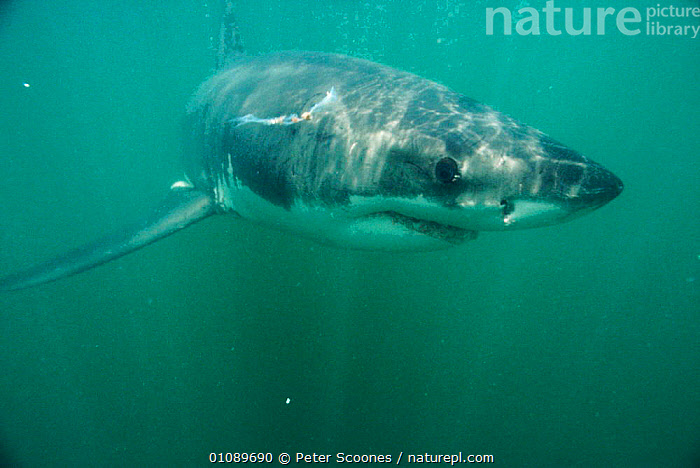 Great white shark {Carcharodon carcharias} underwater, off Dyer Island, South Africa, AFRICA,CHONDRICHTHYES,DANGEROUS,FISH,HORIZONTAL,ONE,PS,SOUTHERN AFRICA,UNDERWATER,SHARKS, Fish, PETER SCOONES