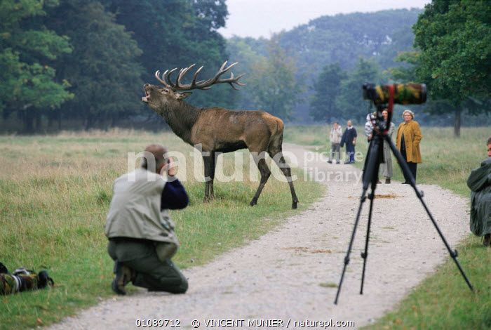 Photographing bellowing Red deer stag at Dyrehaven, Denmark, ANIMAL,ANIMALS,BELLOWING,DENMARK,EUROPE,HORIZONTAL,MALES,MAMMALS,MATING BEHAVIOUR,PEOPLE,PHOTOGRAPHER,PHOTOGRAPHING,PHOTOGRAPHY,RUT,VMU,VOCALISATION,WILDLIFE,SCANDINAVIA,REPRODUCTION, VINCENT MUNIER