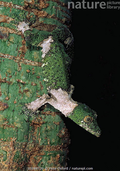 Leaf tailed gecko camouflaged on tree trunk {Uroplatus sikorae} Madagascar, FACES, GECKOS, HEADS, LIZARDS, TREES, VERTEBRATES, VERTICAL, CAMOUFLAGE, MOSS, PLANTS, REPTILES, Pete Oxford